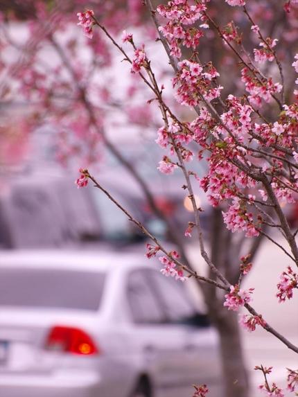 街中に咲く桜