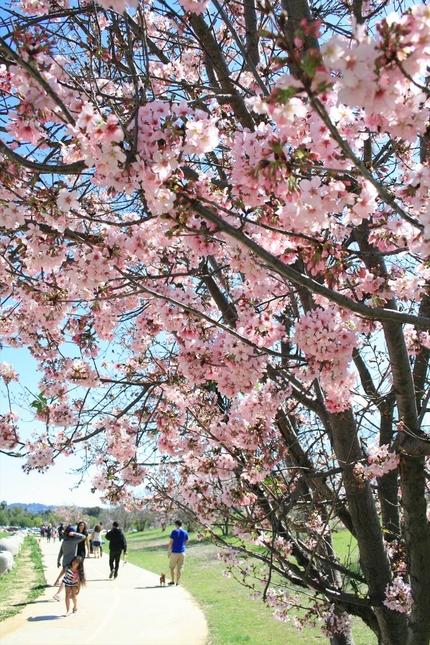 散歩道沿いに桜の木が並ぶ