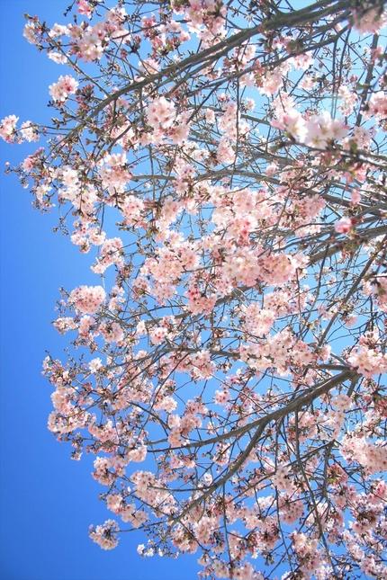 ロサンゼルスの青空と桜