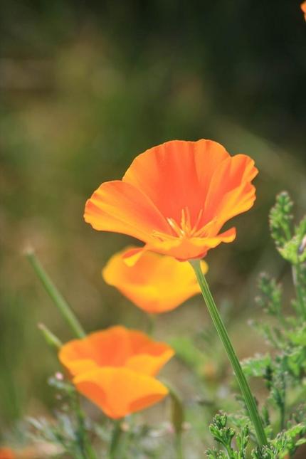 カリフォルニアの州花であるポピ...
