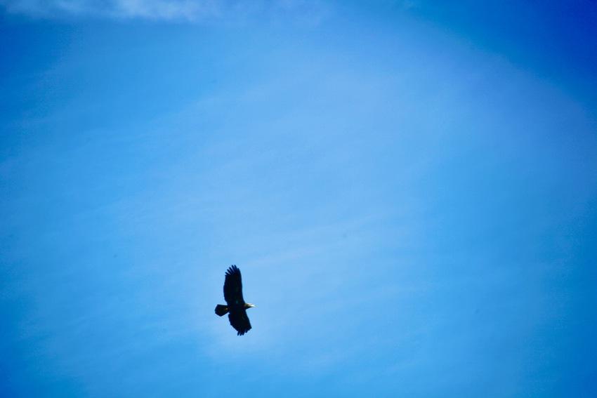 先日会社の上を飛んでいる鷲を撮...