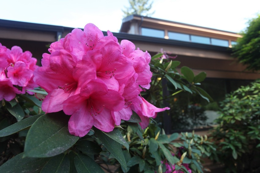 Rhododendron (ツ...