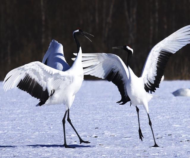 鶴は日本を象徴する鳥です