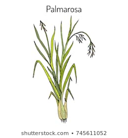 Antiviral effects of Palmarosa