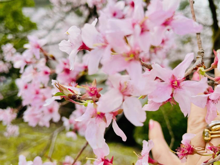 兼六園の桜、満開 2021/0...