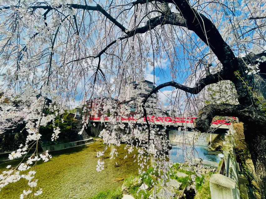 高山の宮川の桜が満開 2021...