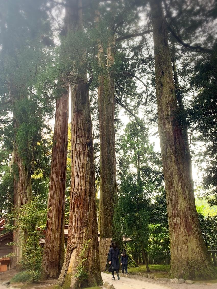 比咩神社を守る老杉たち